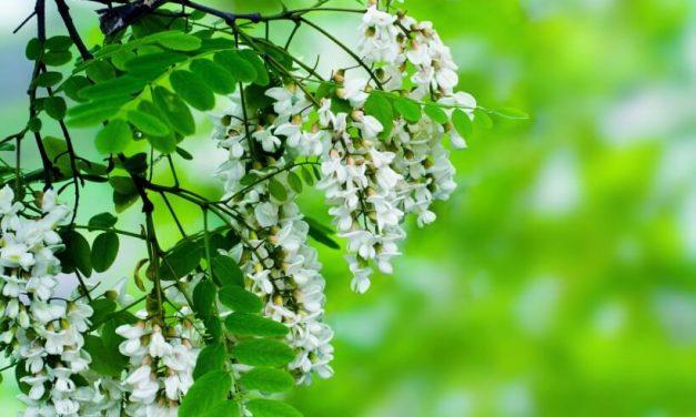 Az akác virága gyógynövényként…